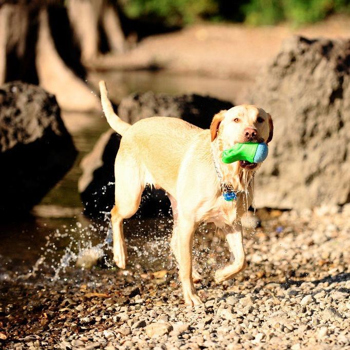 Chuckit Amphibious Gator Crocodile Ball für Hunde, Bild 4