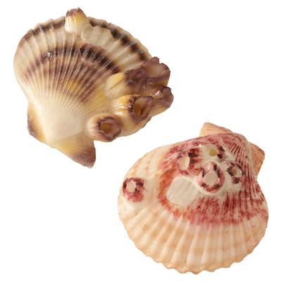 Aqua Della Sea Shell - verschiedene Muscheln
