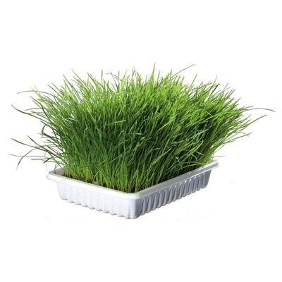 Katzengras Soft gras selber ziehen