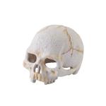Primatenschädel - 9 x 8 x 11,5 cm
