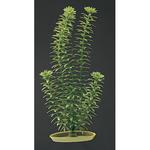 Anacharis - 5,5 x 3,5 x 12,0 cm